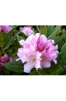Rhododendron Pohjola`s Daughter Рододендрон Похиолас Дотер h 0.40 - 0.60 контейнер 7.5 л. 2 000 000 048 963