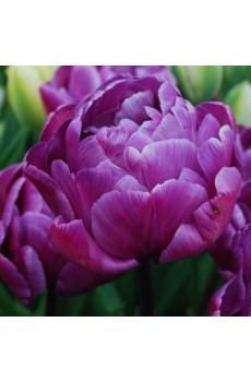 Tulip Blue Diamond Тюльпан Блю Даймонд  2000000060630