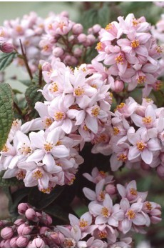 Дейция гибридная Монт Роуз Deutzia hybrida Mont Rose