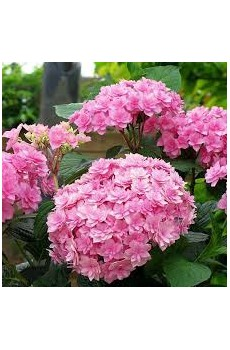 "(Hydrangea macrophylla ""You & Me Love"")"