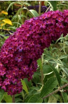 Буддлея Давида Роял Ред Buddleja davidii Royal Red