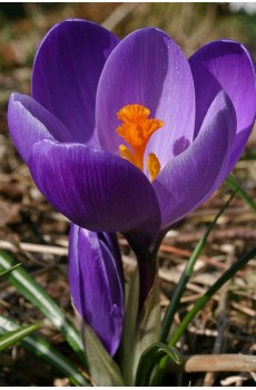 Crocus vernus Flower record Крокус весенний Флауэр Рекорд