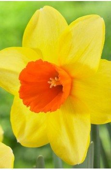 Нарцисс  Рэд Девон Narcissus Red Devon