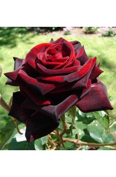 Rose black magic