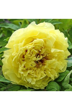 "Пион ""Йеллоу Краун"" (Paeonia ""Yellow Crown"")"